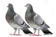 piccioni 2
