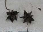 zucca spinosa IMG_1691.JPG_thumb